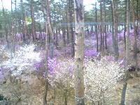 河口湖の花々