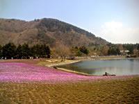 富士芝桜まつりの芝桜